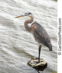Blue Heron on Rock