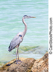 Blue Heron on Rocks