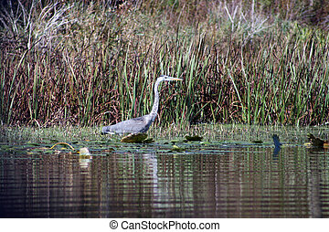 blue heron on the shore of a northern lake