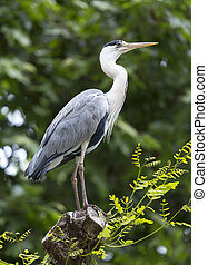 Blue heron, perched on a branch in their natural habitat