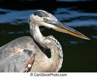 blue heron portrait - Profile, ardea herodias, great blue...