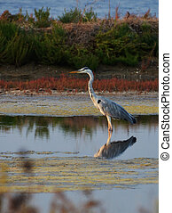 blue heron standing in the marsh
