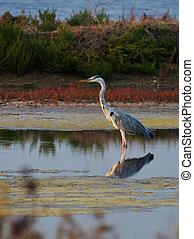 blue heron standing in the marsh
