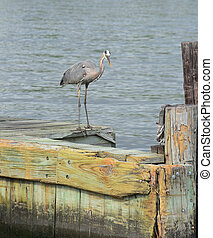 Blue Heron Standing on a Wood Pier
