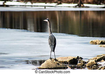 Blue Heron Standing on Rock