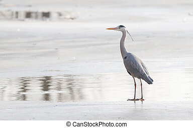 Blue heron standing on the ice