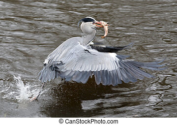 Blue Heron with fish