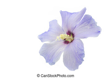 Blue Hibiscus flower on white background