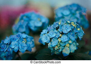Blue Hortensia Flower Detail in Greenhouse Floral Background