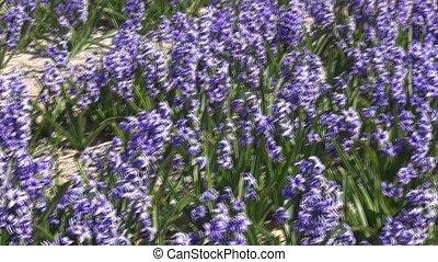 Blue Hyacint on the field