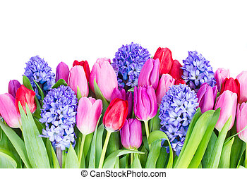 blue hyacinth and tulips border isolated on white background