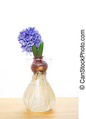 Blue hyacinth flower and bulb showing roots in glass vase