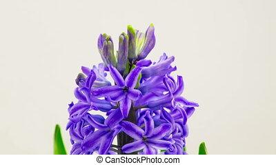 Blue Hyacinth Flower Blooming.