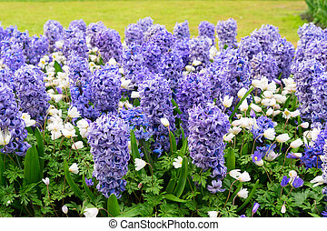 blue hyacinth flowerbed