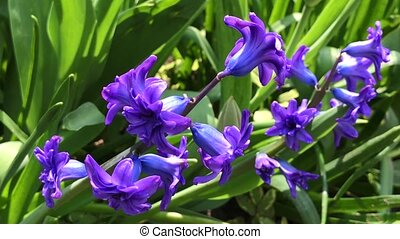 blue hyacinth in the garden on a summer sunny afternoon, selective focus