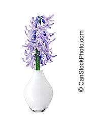 Blue hyacinth in vase isolated on white