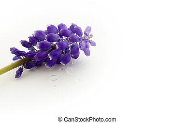 blue hyacinth isolated on a white background