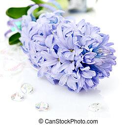 Blue Hyacinth isolated on white background