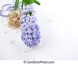 Blue Hyacinth isolated on white background