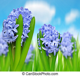 Blue Hyacinth on meadow.