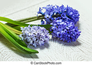 Blue hyacinth on old wooden background