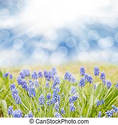 Blue hyacinth