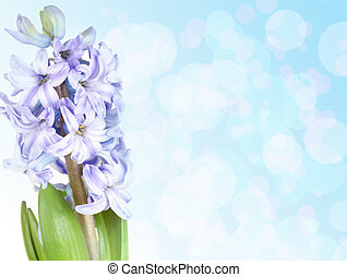 Blue hyacinth with copy space isolated on white