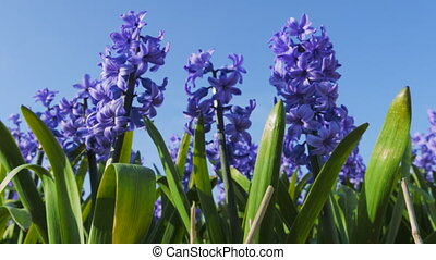 Blue hyacinths blossom in spring in the open ground - Blue...