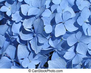 blue hydrangea close-up