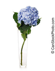 Blue hydrangea flower in a transparent vase on a white background.