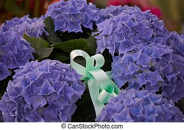 blue hydrangea in bloom