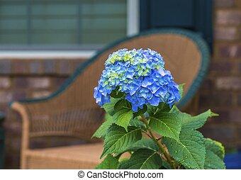 Blue Hydrangea on Porch