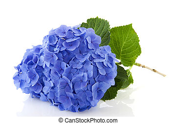 Blue Hydrangea flowers in nature isolated over white