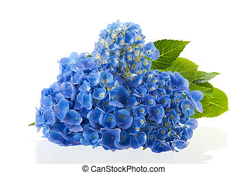 blue Hydrangea - blue hydrangea flowers isolated over white...
