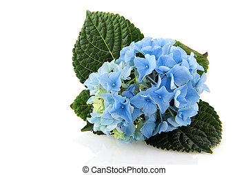 Blue Hydrangea flower isolated over white background