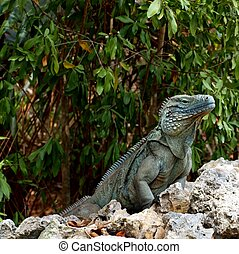 The endangered blue iguana of the Cayman Islands