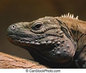 Blue Iguana - blue iguana reptile scaly