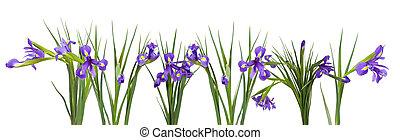 blue iris border. Isolated on white background