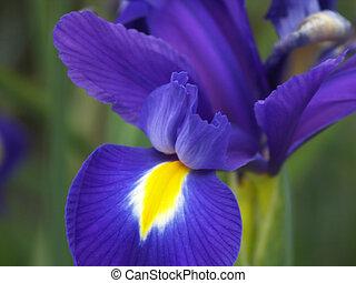 Close up of blue iris