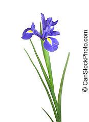 Blue iris flower isolated over white background.
