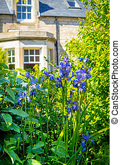 Blue iris flowers in front of the old house
