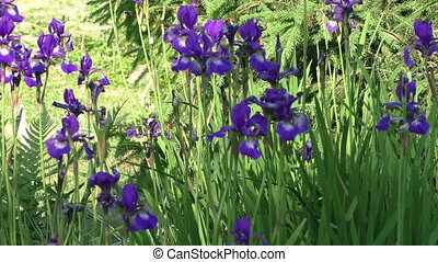 Blue iris flowers in the garden