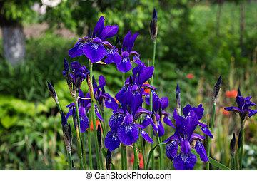 Blue iris flowers on blurred background of garden