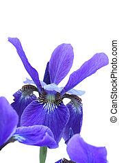 Blue Iris. Isolated on white