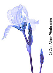 Blue iris on white isolated background