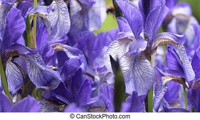 Blue irises closeup - Blue irises close-up in clear weather
