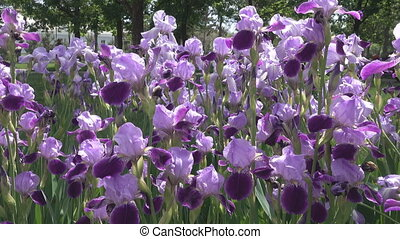 Irises in a flower bed in the Park