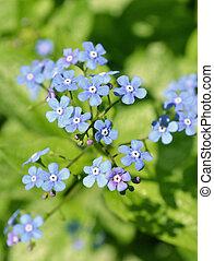 Blue Jack Frost flowers