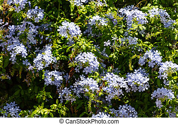 Blue jasmine flowers full background