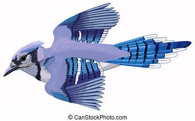 Blue Jay 3 - Blue Jay - Cyanocitta cristata - flying -...